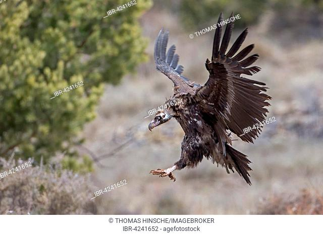 Cinereous vulture (Aegypius monachus) Old World vulture in flight, landing, Alps, Pyrenees, Catalonia, Spain