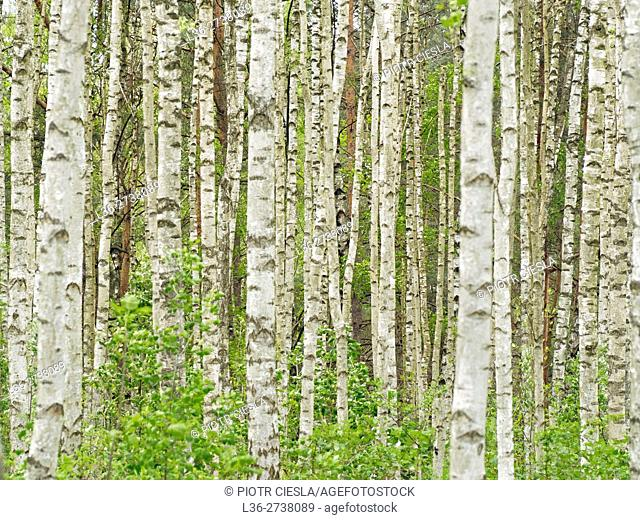 Poland. Podlasie region. Birch grove