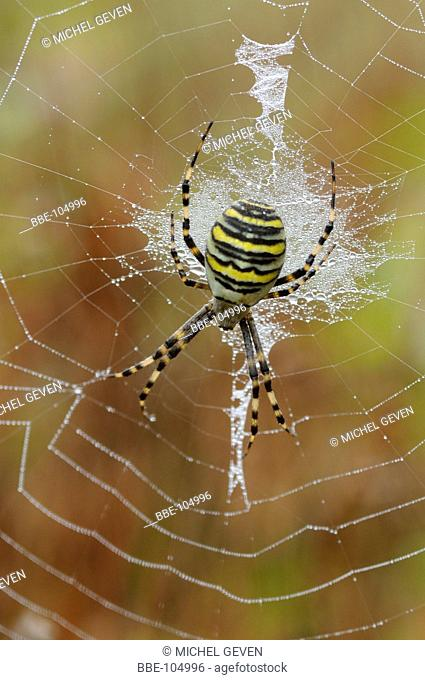 Female of the Wasp Spider perched in dewy web