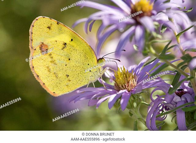 Little Yellow (Eurema lisa) nectaring at fall-blooming asters. Boone County, Missouri