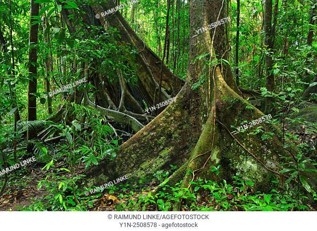 Old Rainforest Tree, Red Tulip Oak, Daintree Rainforest, Mossman, Queensland, Australia