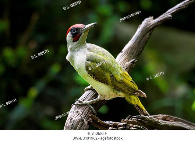 green woodpecker (Picus viridis), sitting on a branch, Switzerland, Sankt Gallen