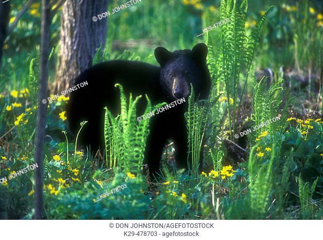 Adult Black Bear (Ursus americanus) feeding on fresh grass with spring marsh marigolds near Rock Lake. Killarney. Ontario. Canada