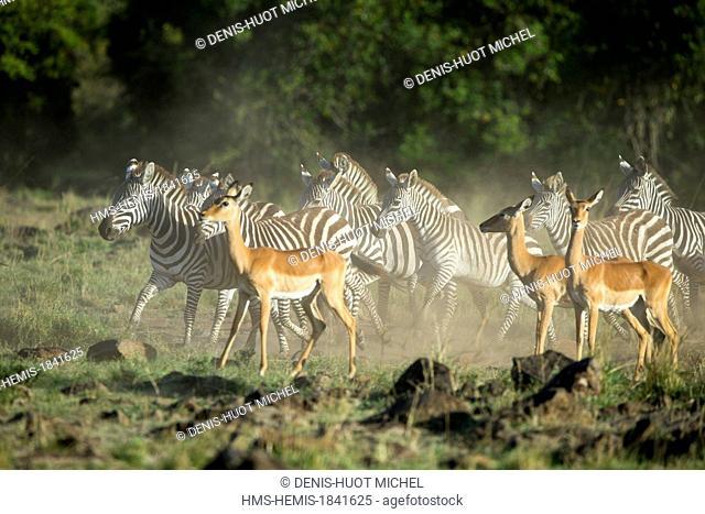 Kenya, Masai-Mara game reserve, Grant's zebra (Equus burchelli granti), and impalas
