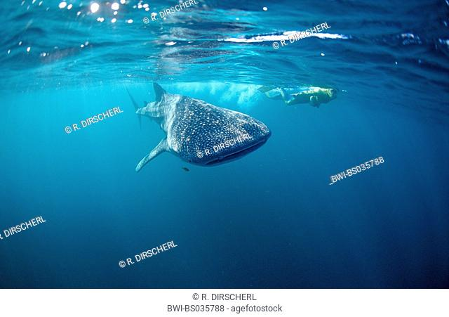 whale shark (Rhincodon typus), largest fish of the world, swims with skin-diver, Australia, Ningaloo Riff