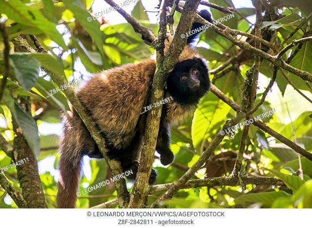 Masked titi monkey (Callicebus personatus), photographed in Santa Teresa, Espírito Santo - Brazil. Atlantic forest Biome. Wild animal
