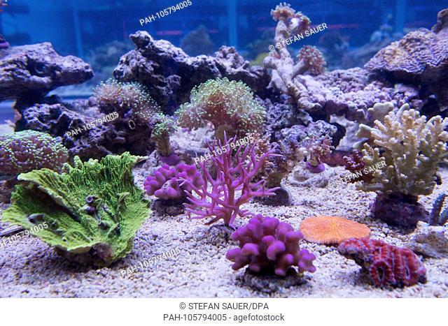 18.09.2018, Mecklenburg-Vorpommern, Stralsund: In a coral breeding room in the Maritime Museum, which resembles an underwater nursery