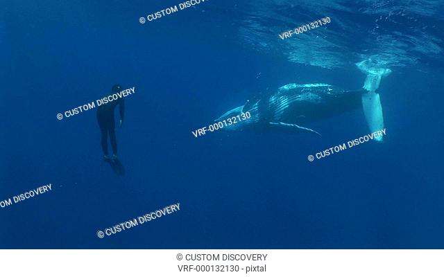 Snorkeler and humpback whale Megaptera novaeangliae. Man and animal interactions. Tonga, South Pacific