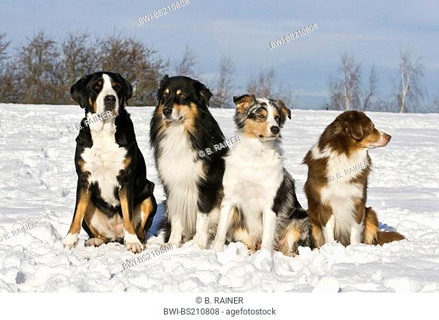 Great Swiss Mountain Dog (Canis lupus f. familiaris), 3 Australian Shepherds sitting next to Great Swiss Mountain Dog in the snow