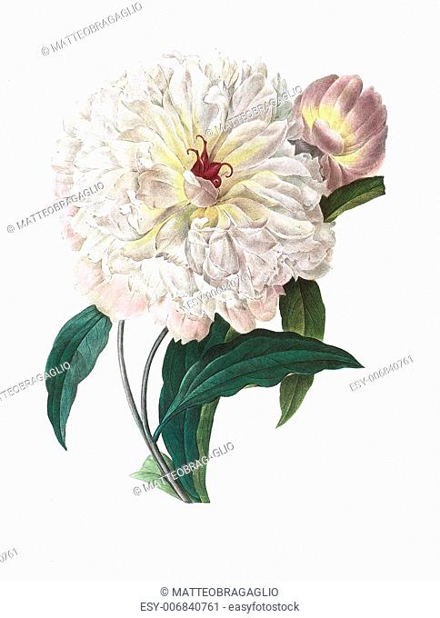 Antique illustration of a peonia engraved by Pierre-Joseph Redoute (1759 - 1840), nicknamed The Raphael of flowers