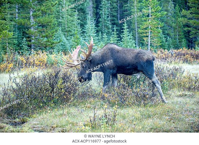 Bull moose (Alces alces) thrashing his antlers on willow bushes to remove the velvet, Canadian Rockies, Alberta