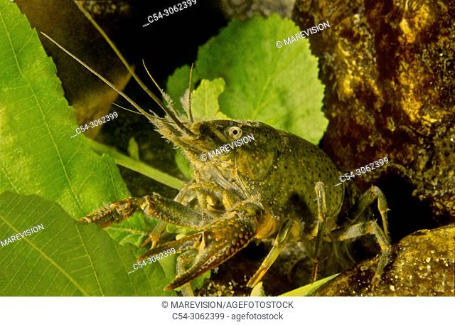 Freshwater Rivers. Red Swamp Crayfish (Procambarus clarkii) youth . Rio Miño. Galicia. Spain. Europe