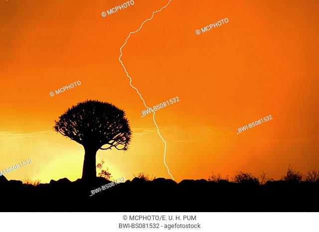 kokerboom, quivertree (Aloe dichotoma), single tree in front of a sunset with lightening, Namibia