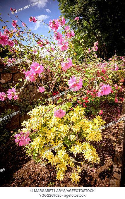 Beautiful pink Hollyhock flowers in Scotland, UK
