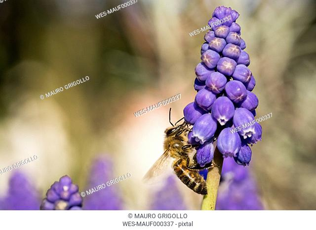 Honey bee on muscari flower