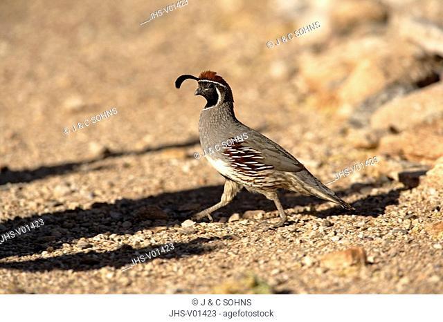 Gambel`s Quail,Callipepla gambelii,Sonora Desert,Arizona,USA,adult male