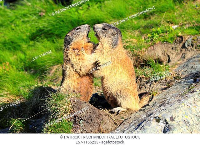 Alpine Marmot, Marmota marmota