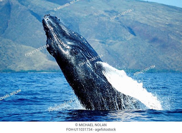 Pacific Wumpback Whale Megaptera novaeangliae calf breaching off the west coast of Maui, Hawaii