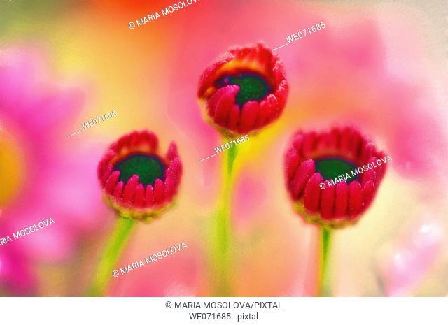 Three Unfolding Marguerite Daisy Flowers. Argyranthemum frutescens. June 2005, Maryland, USA