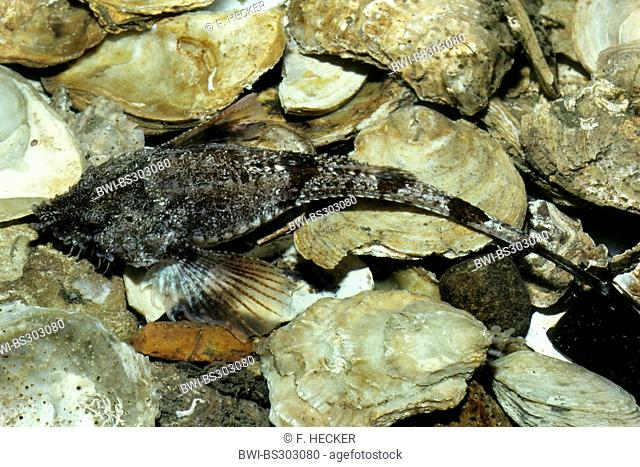 pogge, hooknose, hook-nose, armed bullhead (Agonus cataphractus), on the bottom of the sea among seashells