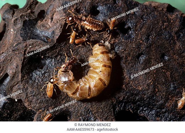 Nasuties Termite Queen & King Trinidad