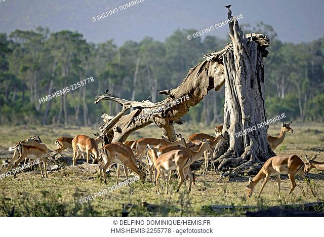 Kenya, Masai Mara Reserve, herd of Impalas (Aepyceros melampus) in a dead tree
