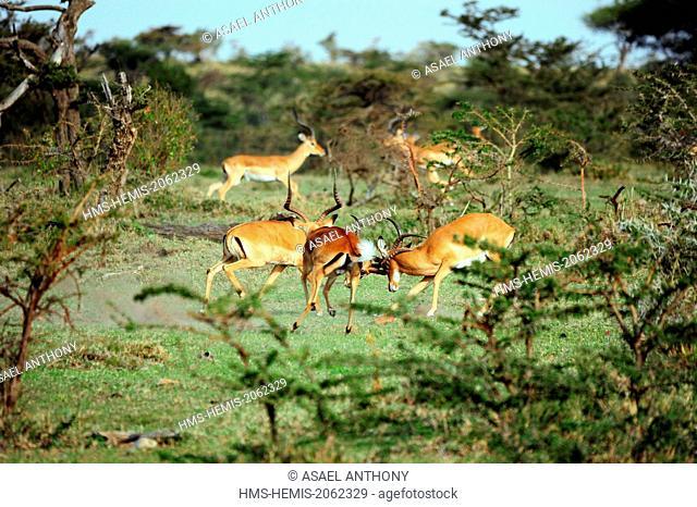 Kenya, Masai Mara National Reserve, male Impala (Aepyceros melampus) fighting