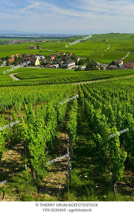 France, Haut-Rhin (68), Wine road, Riquewihr, vineyards and village
