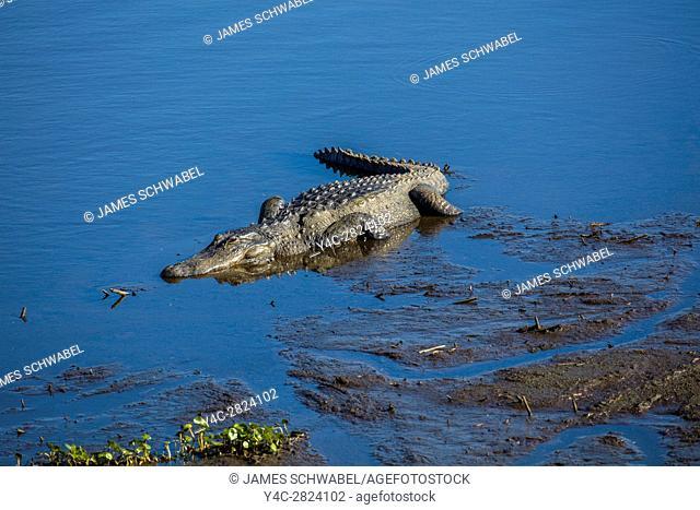 Alligator along the La chua trail in Paynes Prairie Preserve State Preserve in Gainesville Florida