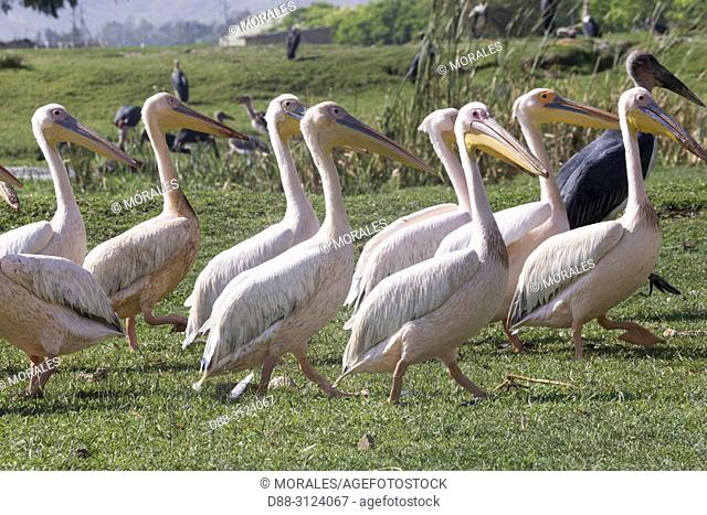 Africa, Ethiopia, Rift Valley, Ziway lake, . Great White pelican (Pelecanus onocrotalus), group on the lake Ziway