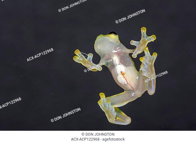 La Palma Glass Frog - Hyalinobactrachium valerioi, Native to: Costa Rica