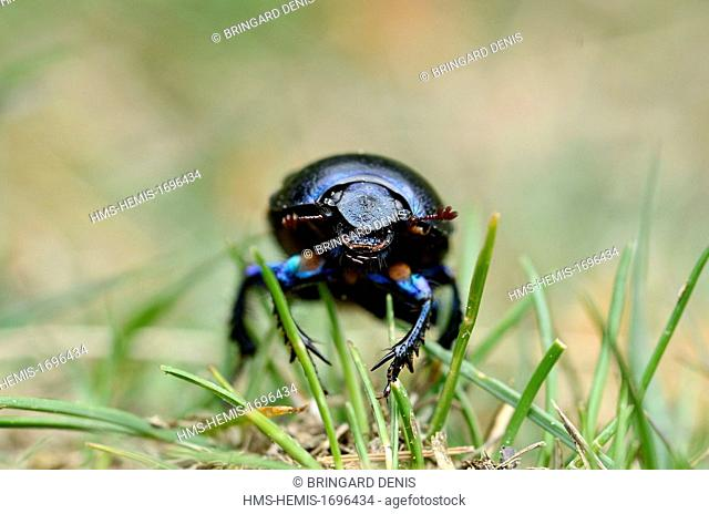 France, Vosges, the Vosges Mountains, Red Grass (1100 m), thatch, Bousier (Anoplotrupes stercorosus)