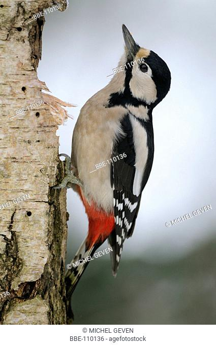 Female Great Spotted Woodpecher perched against a Birch tree