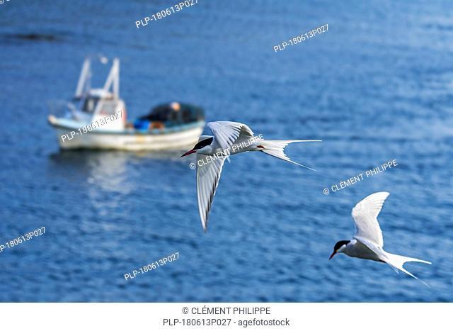 Two Arctic terns (Sterna paradisaea) in flight above fishing boat at sea, Shetland Islands, Scotland, UK