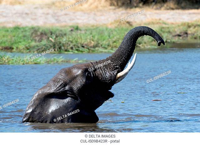 Elephant (Loxodonta africana) wading in river with trunk raised, Khwai concession, Okavango delta, Botswana