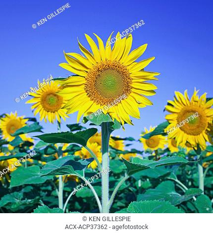 Sunflowers against clear blue sky, Winnipeg, Manitoba, Canada