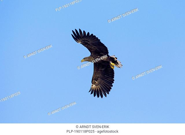 Banded white-tailed eagle / ringed sea eagle / erne (Haliaeetus albicilla) flying against blue sky