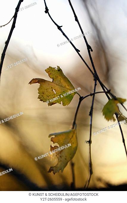 Close up photograph of autumn colored birch leaves lit by the morning sun