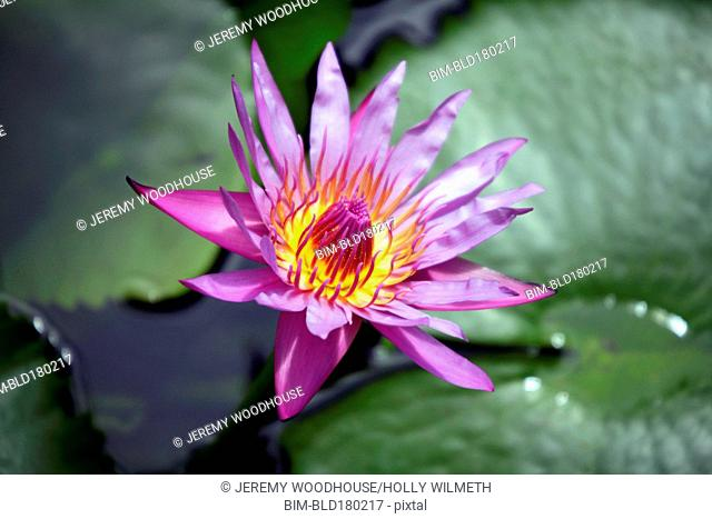 Close up of blooming flower in pond