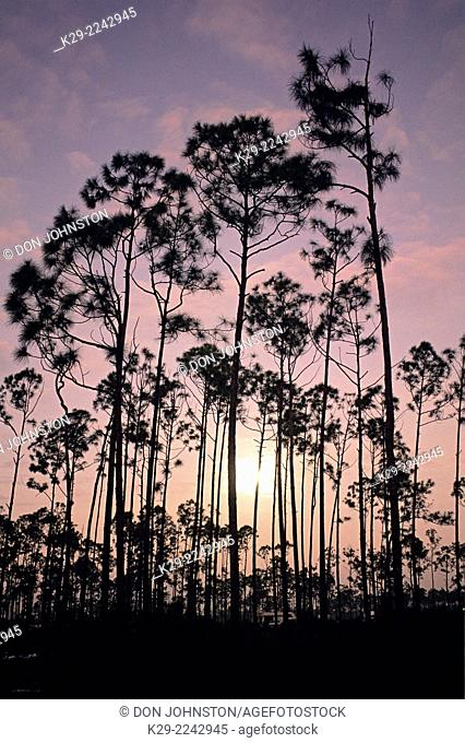 Pine trees and pre-dawn sky, Everglades National Park, Florida, USA