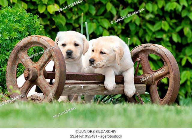 Labrador Retriever. Yellow puppies (8 weeks old) playing on an old axle of a carriage in a garden. Germany
