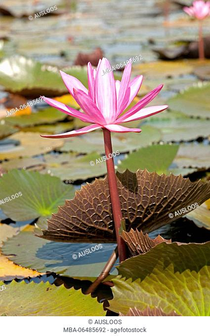 Red Indian water lily - opend flower (Nymphaea pubescens) - Tale Noi - Patthalung - Thailand
