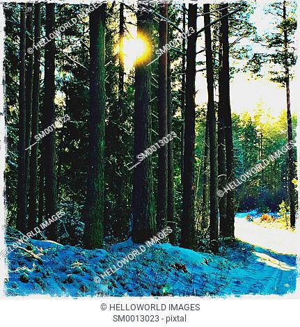 Sunlight through forest, Sweden, Scandinavia