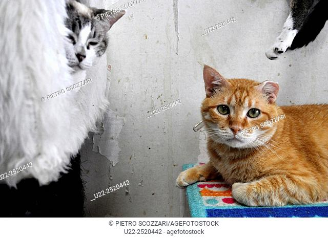 Ginowan, Okinawa, Japan: stray cats at the neko-café/shelter Nyangusk managed by the local association Cherubims