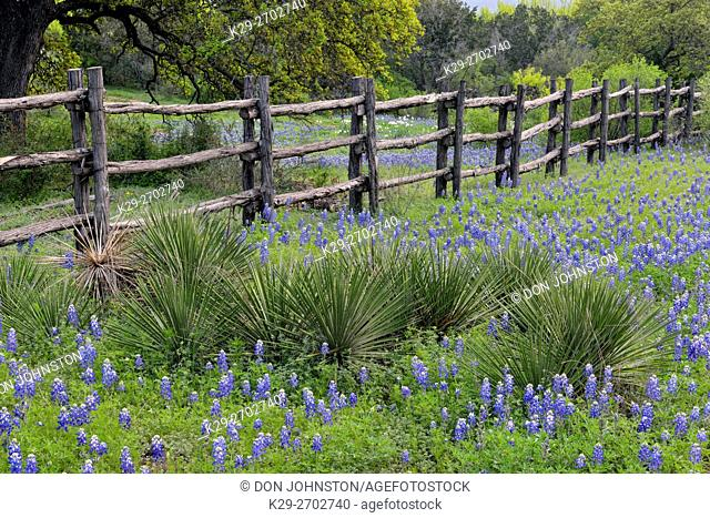 Roadside wildflowers and fenceline- Texas bluebonnets, Burnet County, Texas, USA
