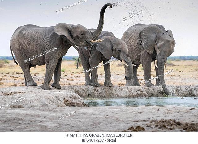 African elephants (Loxodonta africana), drinking at a waterhole, Nxai Pan National Park, Ngamiland District, Botswana