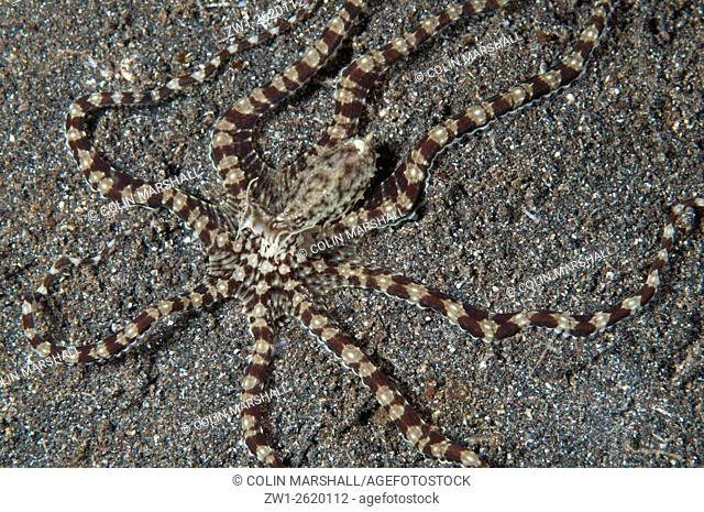 Mimic Octopus (Thaumoctopus mimicus) on black sand, Rojas dive site, Lembeh Straits, Sulawesi, Indonesia