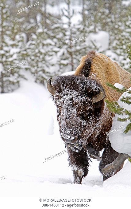 American Bison (Bison bison), Lamar Valley, Yellowstone National Park, Wyoming-Montana, USA