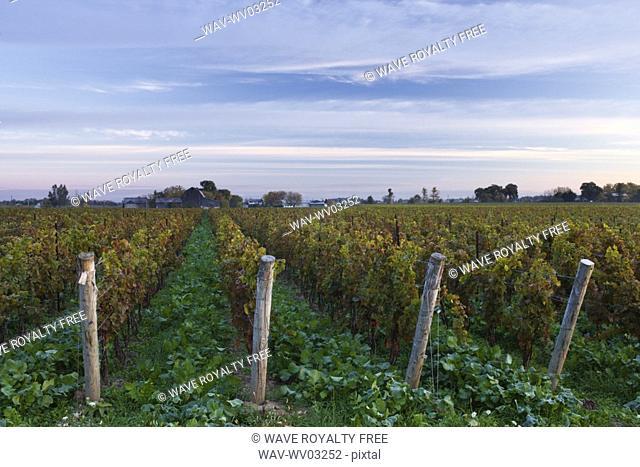 Vineyard at dawn - Pelham, Ontario, Canada