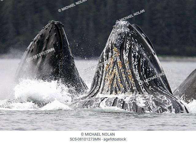 Adult humpback whales Megaptera novaeangliae cooperative bubble-net feeding in Iyoukeen Bay, southeast Alaska, USA